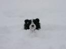 Collie-Flower in Snow